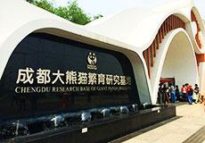 Half day tour in Chengdu Panda Breeding Research ba