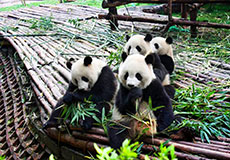 1 Day Giant Panda and Leshan Buddha Tours in Chengd